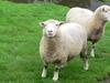 Agrodome_sheep